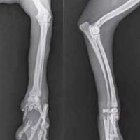 Left forelimb Radiography performed after the trauma