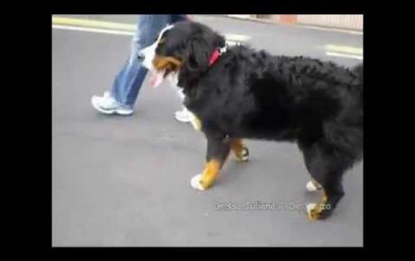 Embedded thumbnail for Bovaro del Bernese con UAP