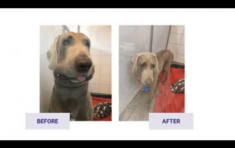Embedded thumbnail for Tuchka, Weimaraner with angioedema